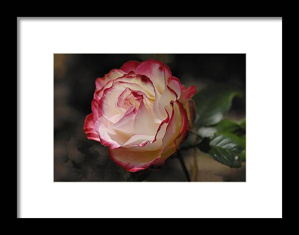 Rose Framed Print featuring the photograph Delicately Yours by Clay and Gill Ross
