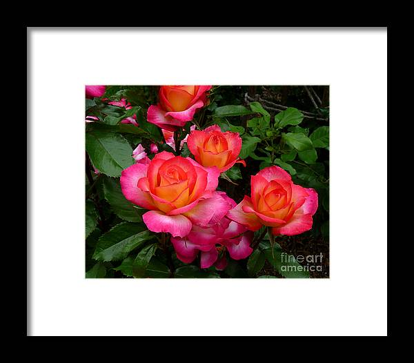 Rose Framed Print featuring the photograph Delicious Summer Roses by Richard Donin