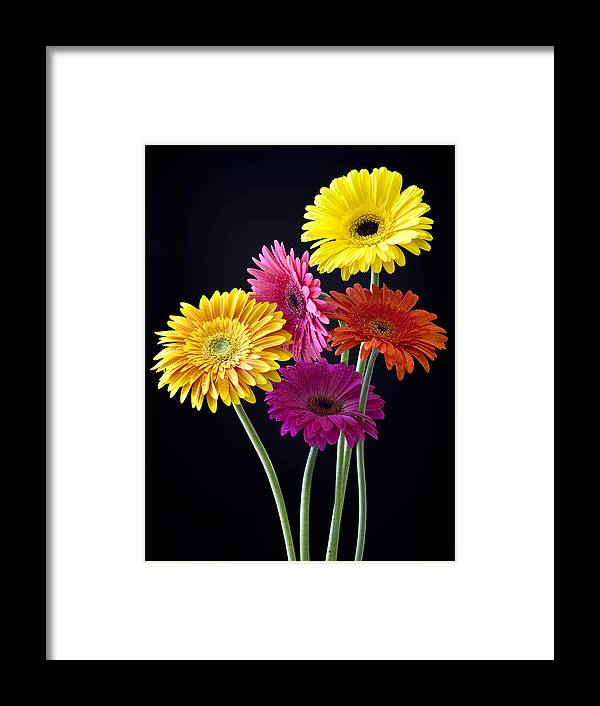 Dahlias Framed Print featuring the photograph Delightful Dahlias by Chandru Murugan