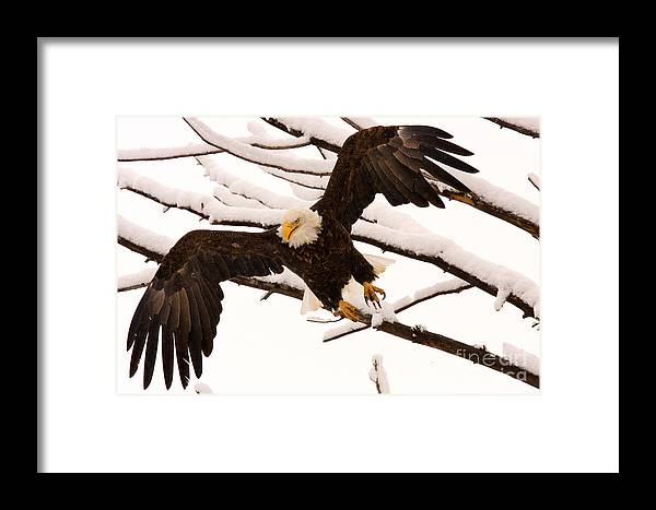 Bald Eagle Framed Print featuring the photograph Departing by Aaron Whittemore