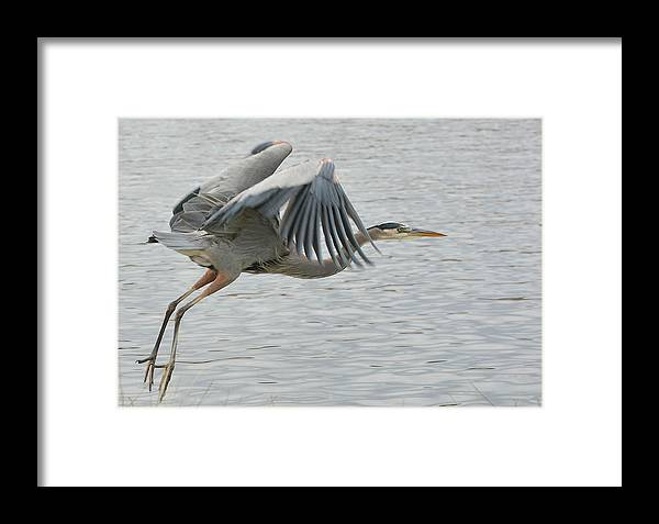 Great Blue Heron Framed Print featuring the photograph Departing Flight by Fraida Gutovich