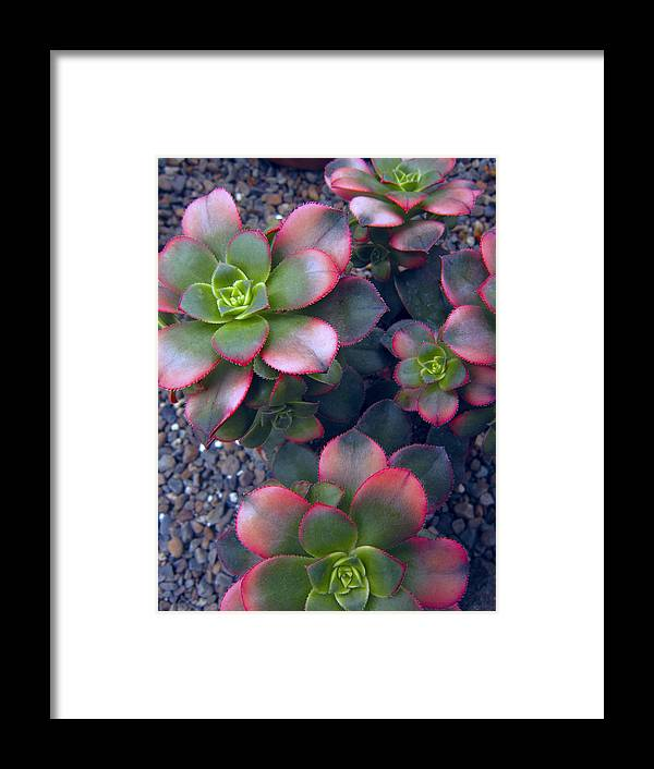 hens And Chicks Framed Print featuring the photograph Desert Succulents by Daniel Hagerman