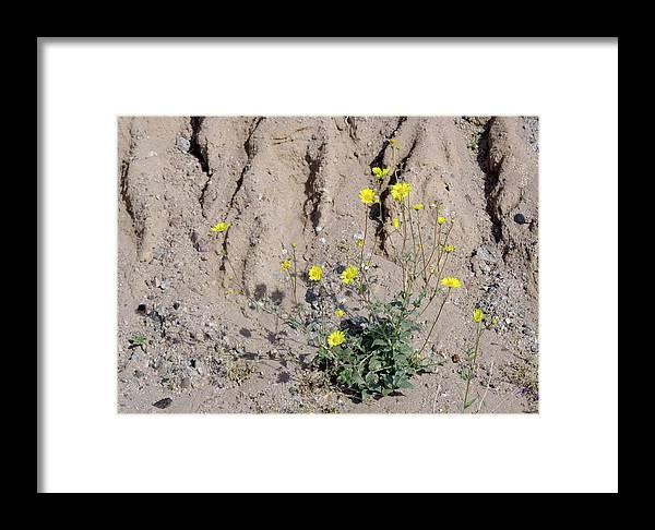 Desert Sunflower Framed Print featuring the photograph Desert Sunflower (geraea Canescens) by Bob Gibbons/science Photo Library