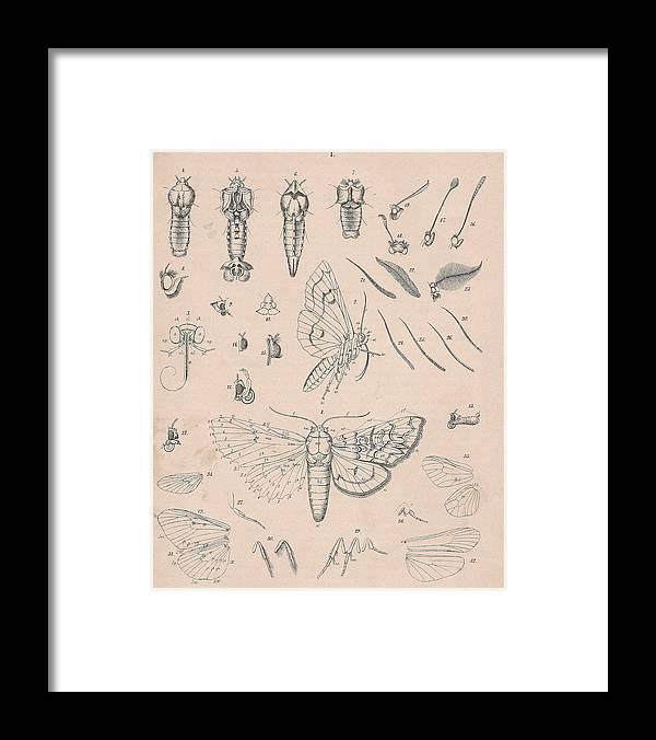 Butterfly Framed Print featuring the painting Details Of The Perfect Insect by W Kirby