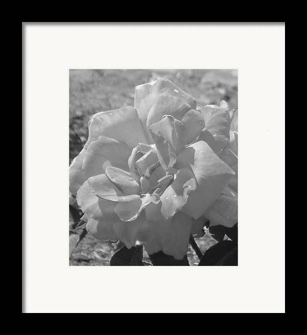 Rose Framed Print featuring the photograph Dew Rose by Pharris Art