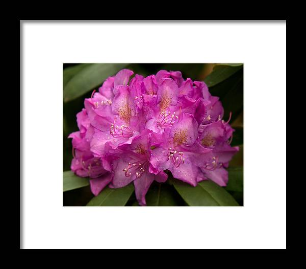Dewy Rhododendron Framed Print featuring the photograph Dewy Rhododendron by Jemmy Archer