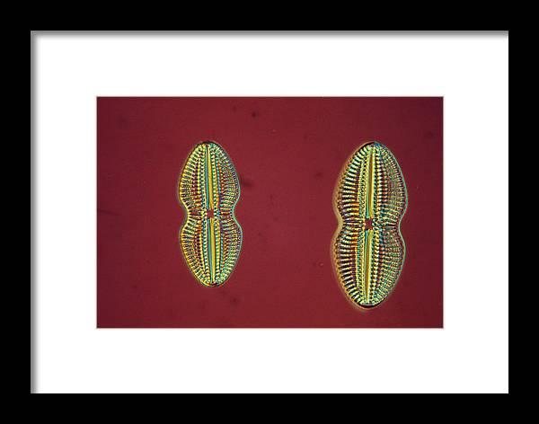 Alga Framed Print featuring the photograph Diatom - Navicula by Perennou Nuridsany