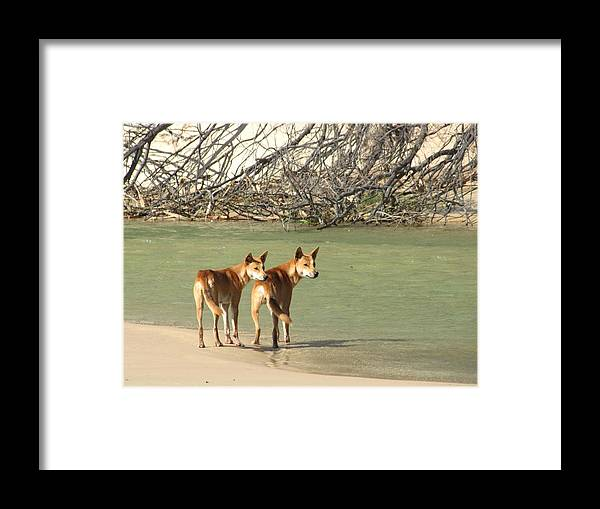 Dingo Framed Print featuring the photograph Dingo Duo by Elizabeth Hardie