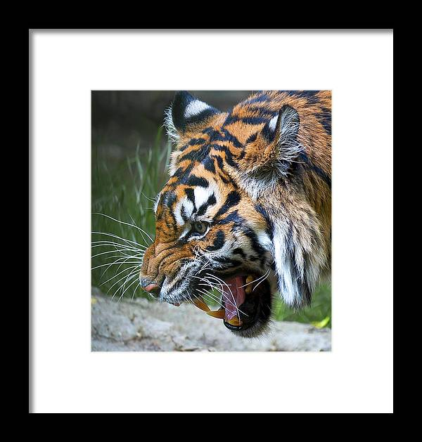 Tiger Framed Print featuring the photograph Dinnertime Now by Mark McKinney