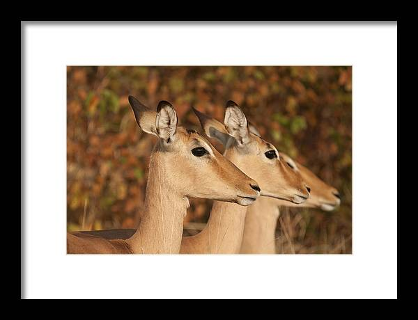 Impala Framed Print featuring the photograph Distraction by David Pryce