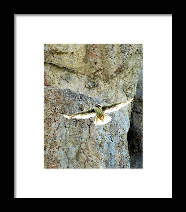 Prairie Framed Print featuring the photograph Diving Falcon by Darcy Tate