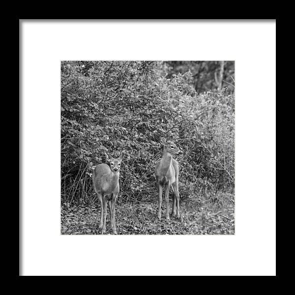 Steve Harrington Framed Print featuring the photograph Doe A Deer Bw by Steve Harrington