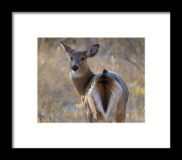 Winter Framed Print featuring the photograph Doe A Deer by Heather Pickard