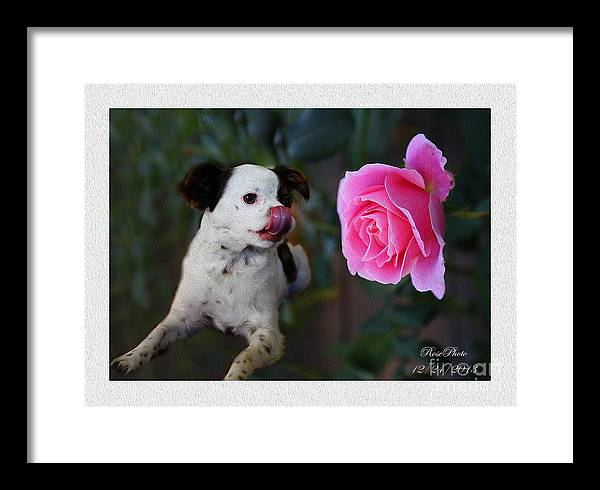 Pink. Rose.flower. Art. Pictures. Photo. Beautiful  Lovely.cute.bird.garden. Framed Print featuring the photograph Dog With Pink Rose by Rose Zhou