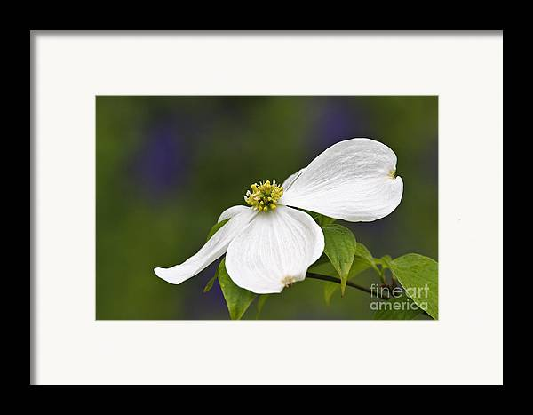 Eastern Framed Print featuring the photograph Dogwood Blossom - D001797 by Daniel Dempster