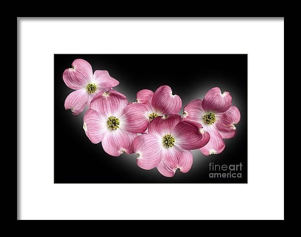 Genus Cornus Framed Print featuring the photograph Dogwood Blossoms by Tony Cordoza