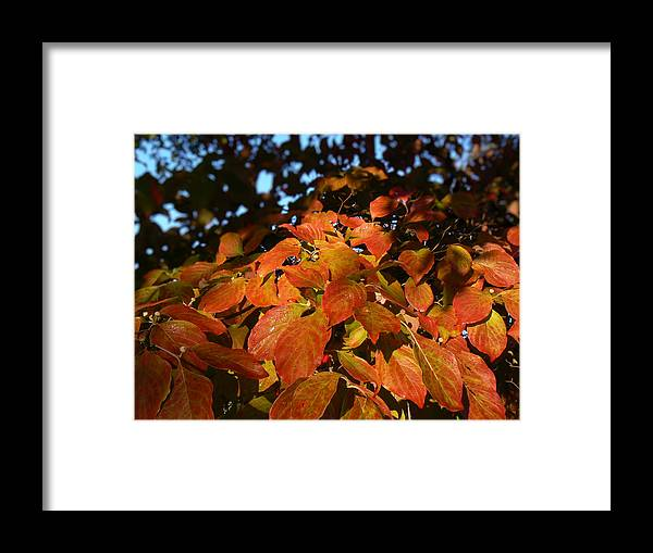 Dogwood Framed Print featuring the photograph Dogwood In Autumn Colors by MM Anderson
