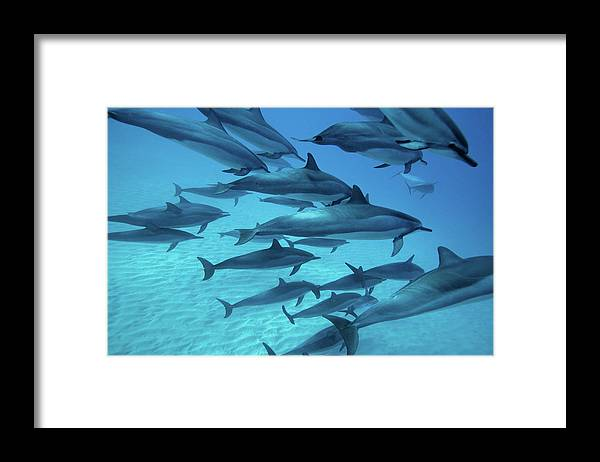 Underwater Framed Print featuring the photograph Dolphins Spinners by M Swiet Productions