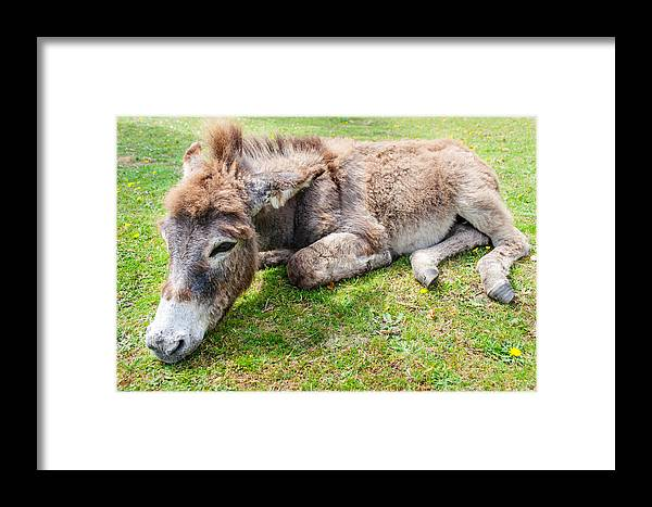 Baby Framed Print featuring the photograph Donkey On Grass by Gyorgy Kotorman