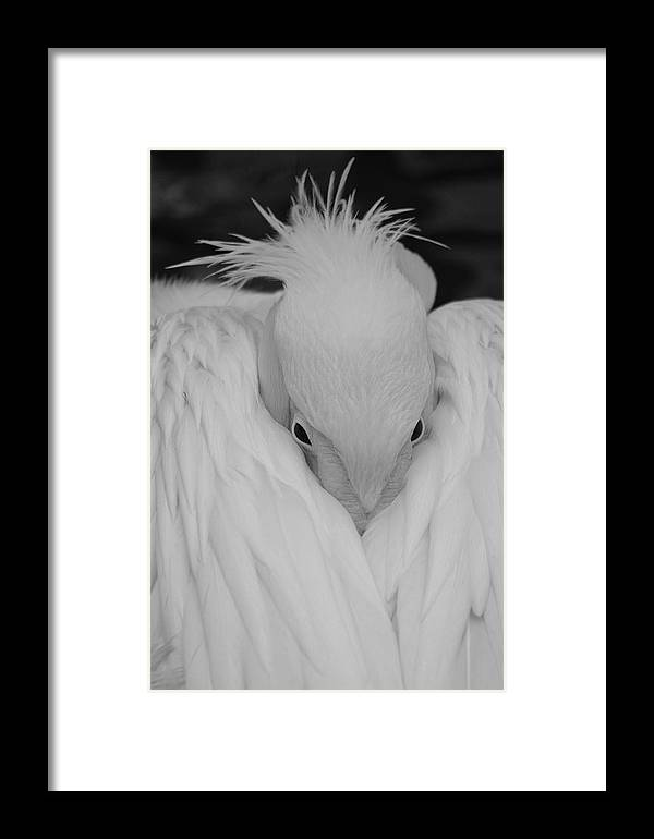 Black And White Framed Print featuring the photograph Don't Be So Shy by Guido Schaefer
