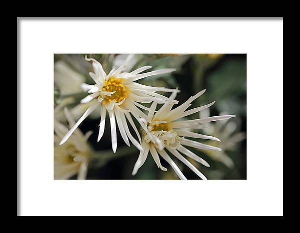 Mums Framed Print featuring the photograph Doubly White by Mary Haber