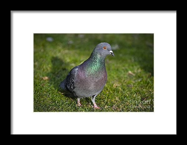 Dove Framed Print featuring the photograph Dove by Mats Silvan