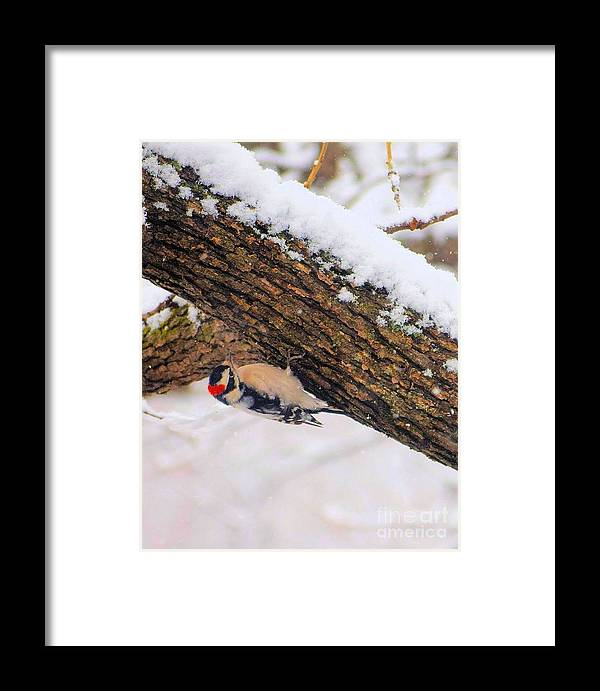 Downy Framed Print featuring the photograph Downy Looking For Bugs by Janette Boyd