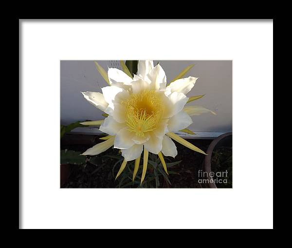 Flower Framed Print featuring the photograph Dragon Fruit Bloom In The Morning by Jussta Jussta