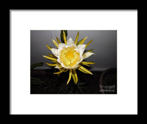 Flowers Framed Print featuring the photograph Dragon Fruit Blooming At Night I by Jussta Jussta