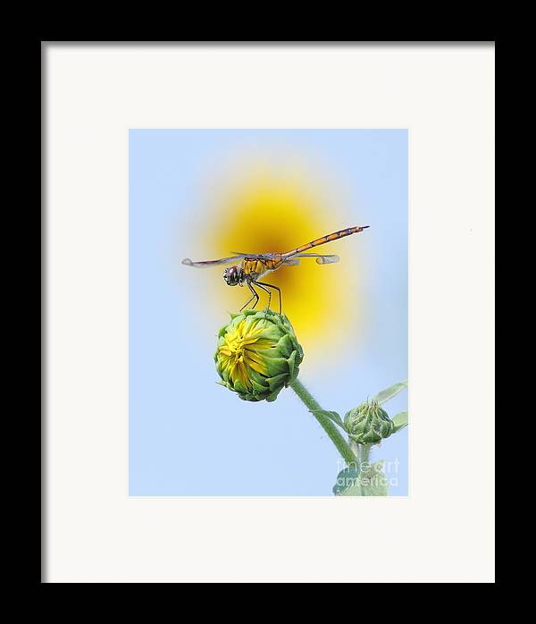 Nature Framed Print featuring the photograph Dragonfly In Sunflowers by Robert Frederick