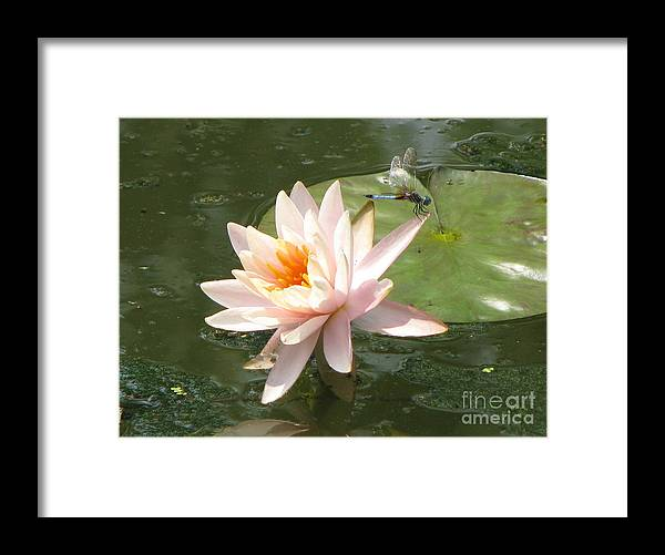 Dragon Fly Framed Print featuring the photograph Dragonfly Landing by Amanda Barcon