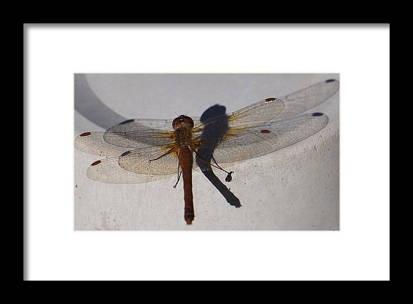 Bugs Framed Print featuring the photograph Dragonfly Sees Itself Shadowed II by Ronda Broatch