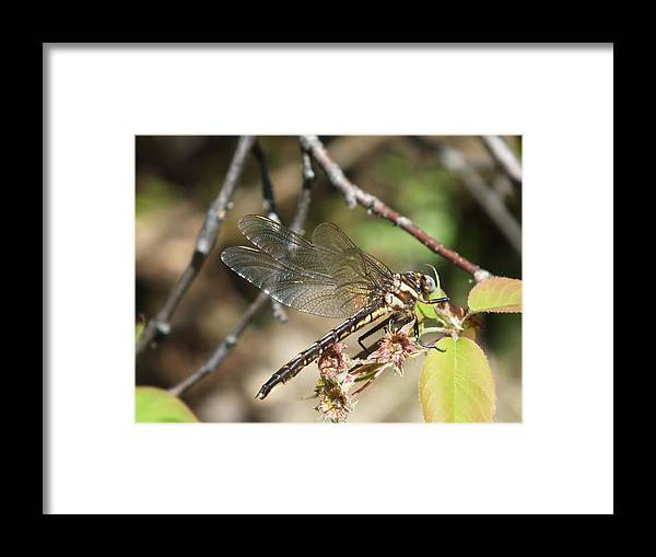 New England Framed Print featuring the photograph Dragonfly Up Close by Gene Cyr