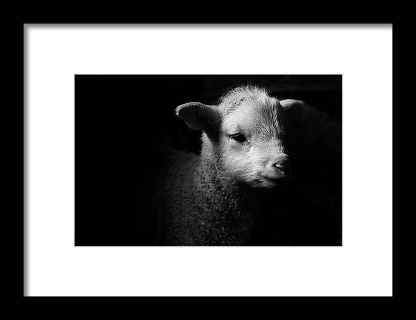Animal Themes Framed Print featuring the photograph Dramatic Lamb Black & White by Michael Neil O'donnell