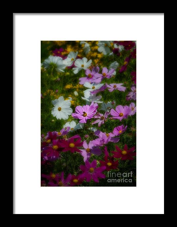 Asteraceae Family Framed Print featuring the photograph Dreamy Cosmos by Venetta Archer