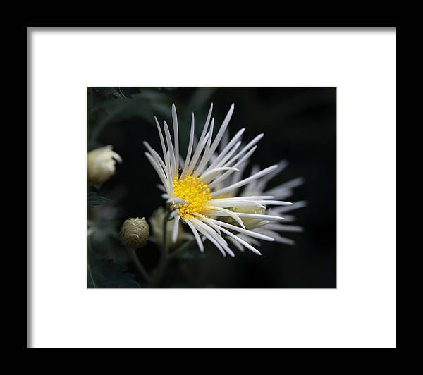 Mums Framed Print featuring the photograph Dreamy White by Mary Haber