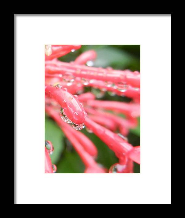 Flowers Framed Print featuring the photograph Drip Drop by Jessica Davis