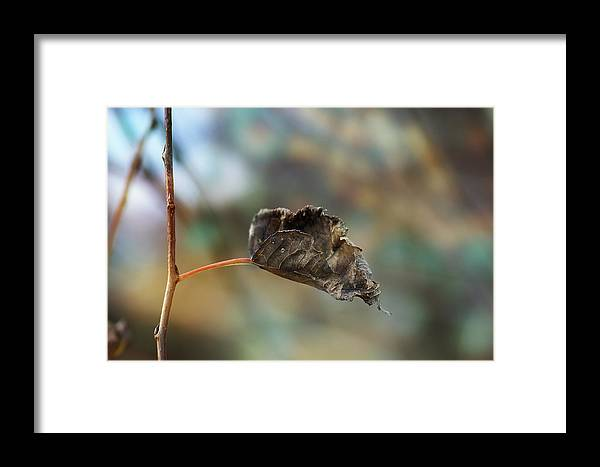Softness Framed Print featuring the photograph Dry Autumn Leaf On A Branch by Sylvie Corriveau