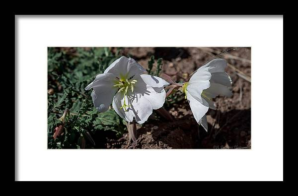 Primulaceae Framed Print featuring the photograph Dual Primrose Flowers by Aaron Burrows