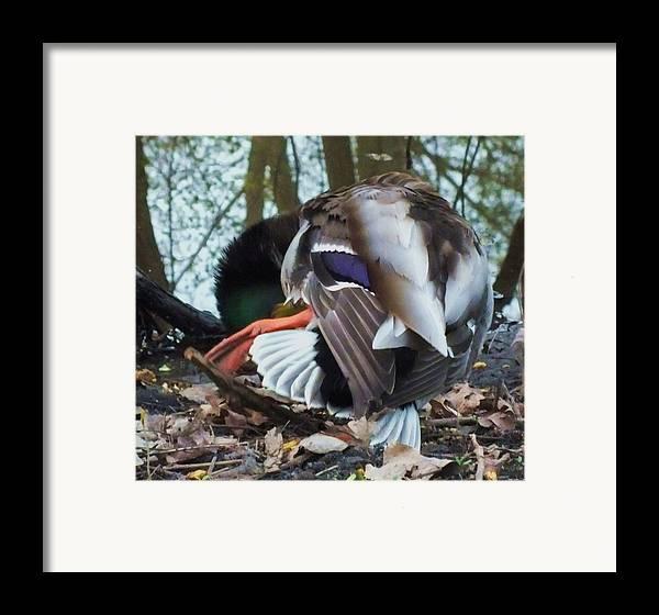 Duck Framed Print featuring the photograph Duck Dance by Anna Villarreal Garbis
