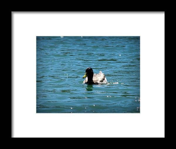Goldwater Lake Framed Print featuring the photograph Duck On Sparkling Waters by Aaron Burrows