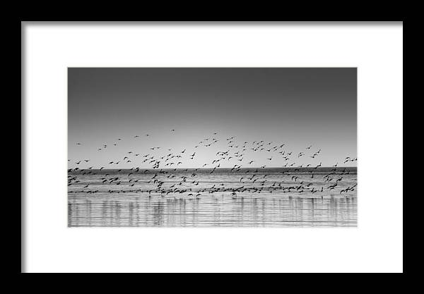 Duck Framed Print featuring the photograph Duck Over Lake 1 B_w by Peter Scott