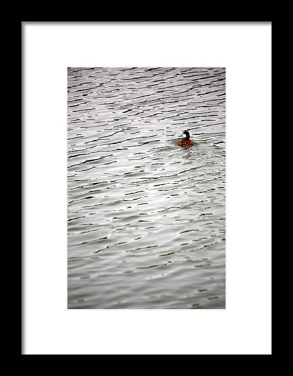 Duck Framed Print featuring the photograph Duck Wake by Marc Levine