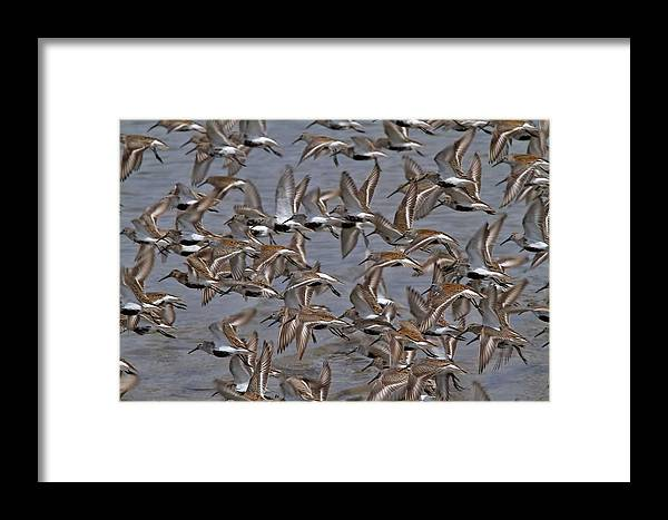 Birds Framed Print featuring the photograph Dunlins In Flight by Patrick Forster