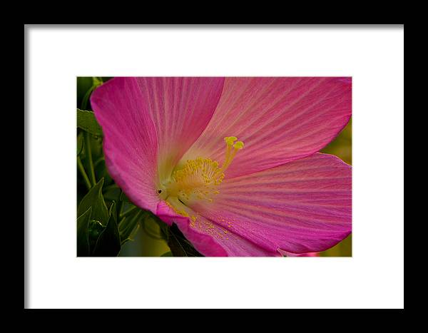 Blooms Framed Print featuring the photograph Dusty Pink by Kathi Isserman