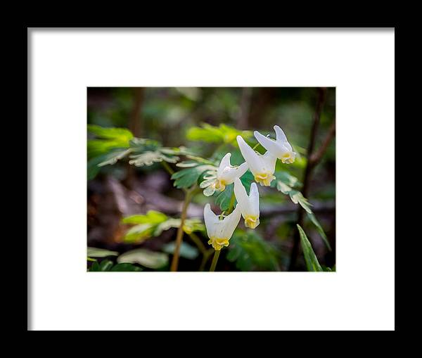 Spring Framed Print featuring the photograph Dutchman's Breeches by Carl Engman