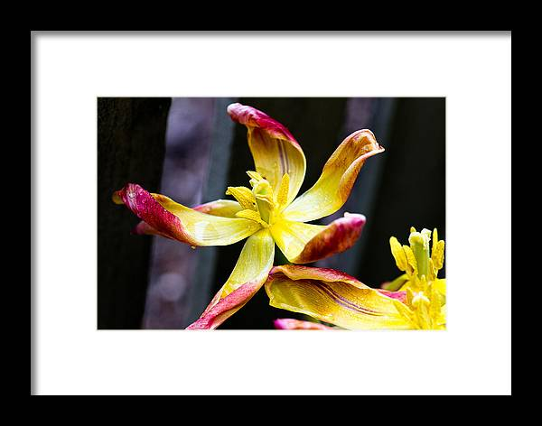 Ron Roberts Photography Framed Print featuring the photograph Dying Tulip by Ron Roberts