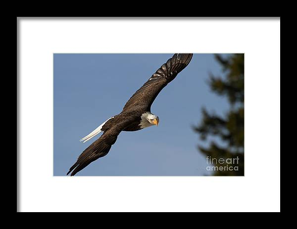 Bald Eagle Framed Print featuring the photograph Eagle Eye by Beve Brown-Clark Photography