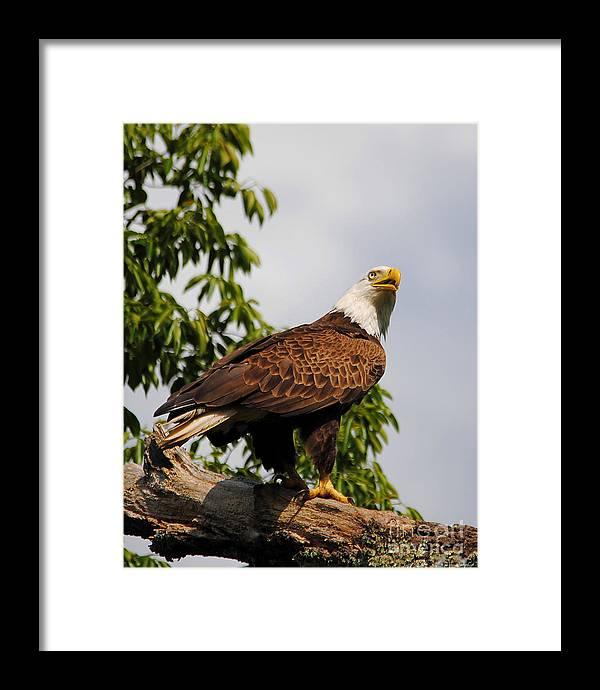 Bald Eagle Framed Print featuring the photograph Eagle Portrait IIi by Jai Johnson