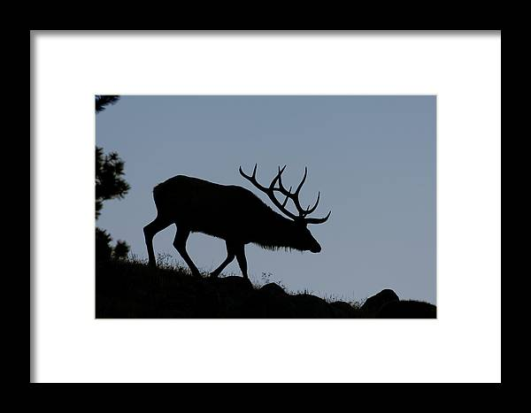 Early Morning Framed Print featuring the photograph Early Morning Bull Elk by Gary Langley